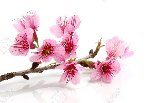 10401027-sakura-flower-500-340