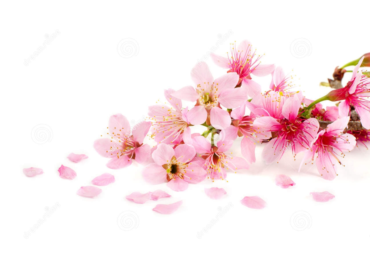 104010287-Cherry-blossom-pink-sakura