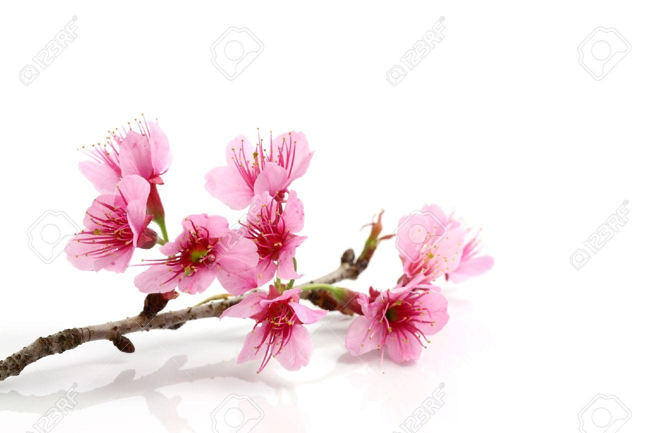 pink-sakura-flower