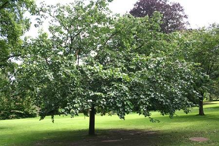 Тутовое дерево, его еще называют шелковица