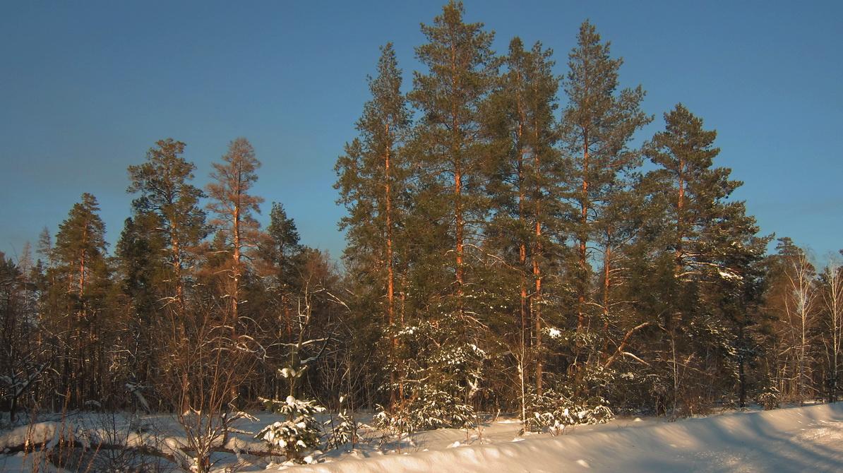 Зимний бор